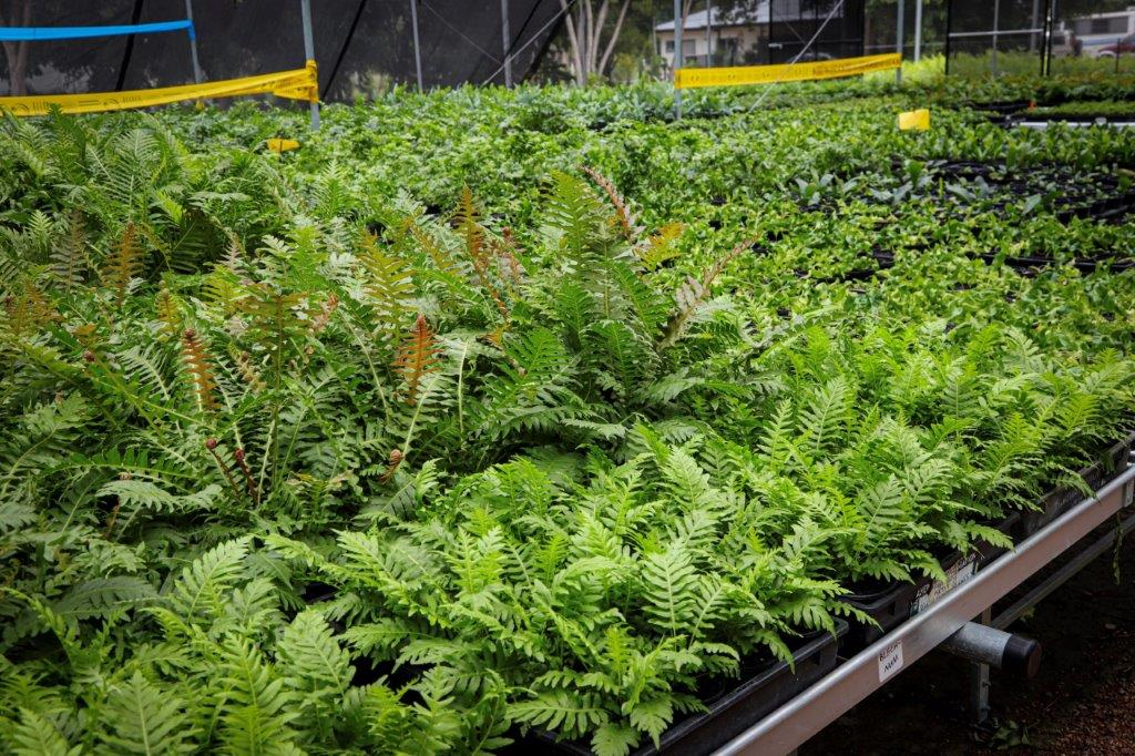 Townsville Plant Wholesalers - Ferns