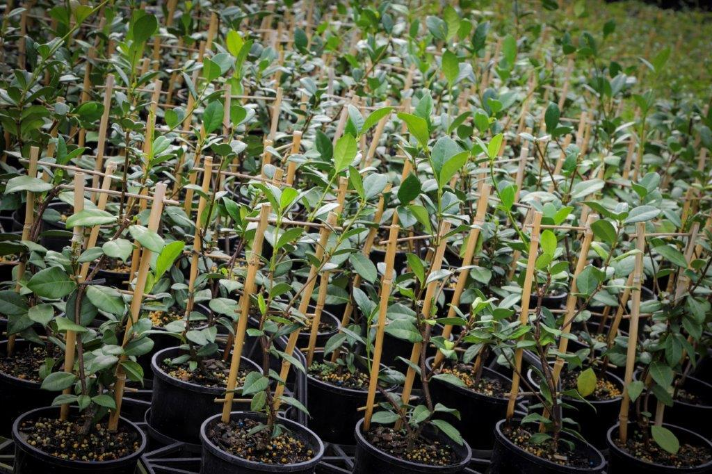 Townsville Plant Wholesalers - Trees